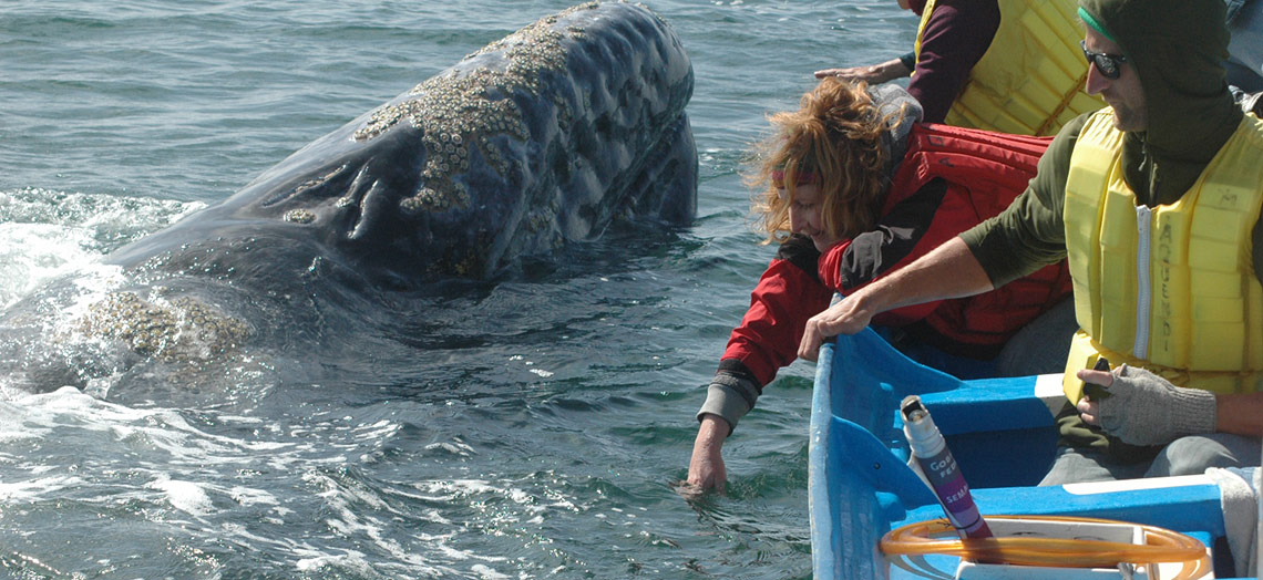 Pacific gray whale mother surfaces next to boat