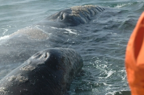 Pacific gray whale and calf surface near our Panga