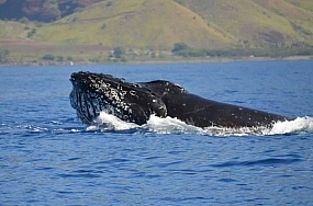 Male humpback whale bullfrogging
